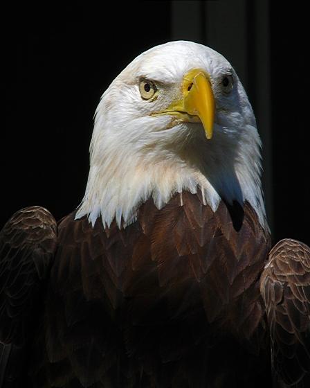 2018.02.10 Audubon Center for Birds of Prey Bald Eagle 2