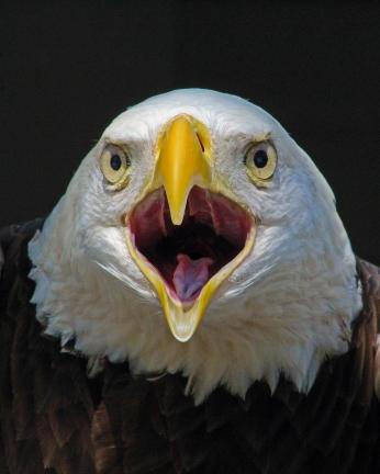 2018.02.10 Audubon Center for Birds of Prey Bald Eagle 3