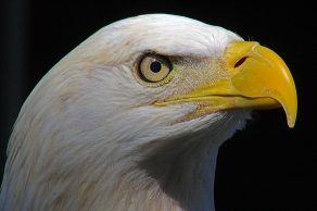 2018.02.10 Audubon Center for Birds of Prey Bald Eagle 4