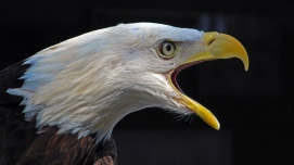 2018.02.10 Audubon Center for Birds of Prey Bald Eagle 5