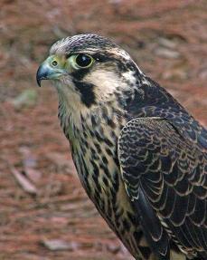 2018.02.10 Audubon Center for Birds of Prey Peregrine Falcon 1
