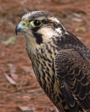 2018.02.10 Audubon Center for Birds of Prey Peregrine Falcon 2