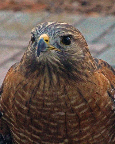 2018.02.10 Audubon Center for Birds of Prey Red Shouldered Hawk 1