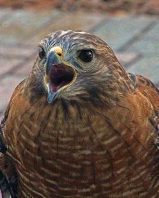 2018.02.10 Audubon Center for Birds of Prey Red Shouldered Hawk 2