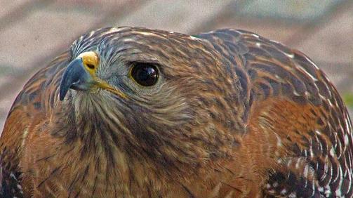 2018.02.10 Audubon Center for Birds of Prey Red Shouldered Hawk 3