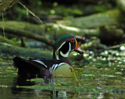 2018.03.13 Silver Springs Wood Duck 1