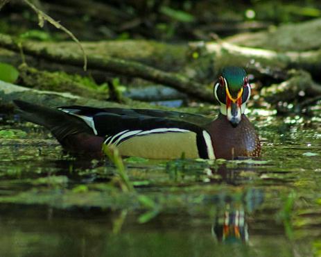 2018.03.13 Silver Springs Wood Duck 2