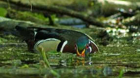 2018.03.13 Silver Springs Wood Duck 3