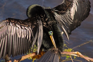 2018.03.24 Sweetwater Branch Wetlands Anhinga 1