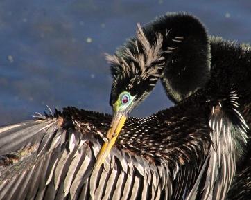 2018.03.24 Sweetwater Branch Wetlands Anhinga 2