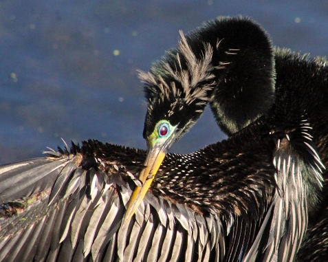 2018.03.24 Sweetwater Branch Wetlands Anhinga 2