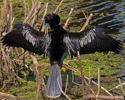 2018.03.24 Sweetwater Branch Wetlands Anhinga 3