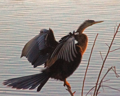 2018.03.24 Sweetwater Branch Wetlands Anhinga 4