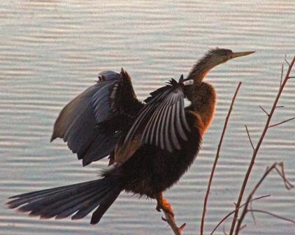 2018.03.24 Sweetwater Branch Wetlands Anhinga 4