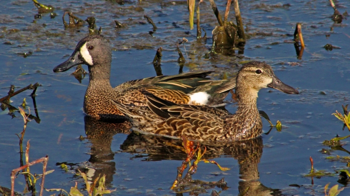 2018.03.24 Sweetwater Branch Wetlands Blue-winged Teal 2