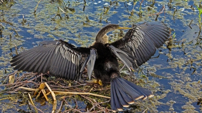 2018.04.01 Sweetwater Wetlands Anhinga 1