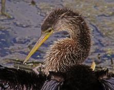 2018.04.01 Sweetwater Wetlands Anhinga 2
