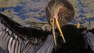 2018.04.01 Sweetwater Wetlands Anhinga 3
