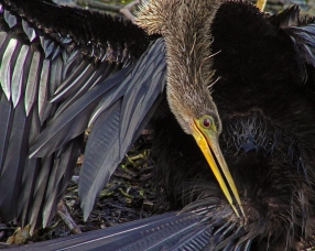 2018.04.01 Sweetwater Wetlands Anhinga 4