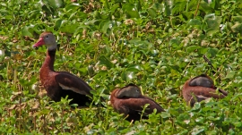 2018.04.01 Sweetwater Wetlands Black-bellied Whistling Ducks 1