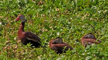 2018.04.01 Sweetwater Wetlands Black-bellied Whistling Ducks 1