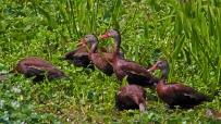 2018.04.01 Sweetwater Wetlands Black-bellied Whistling Ducks 2