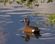 2018.04.01 Sweetwater Wetlands Blue-winged Teal 1