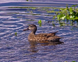 2018.04.01 Sweetwater Wetlands Blue-winged Teal 2