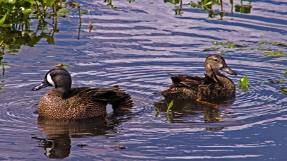 2018.04.01 Sweetwater Wetlands Blue-winged Teal 3