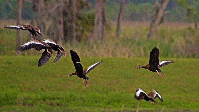 2018.04.18.Sweetwater Wetlands Black-bellied Whistling Ducks 2