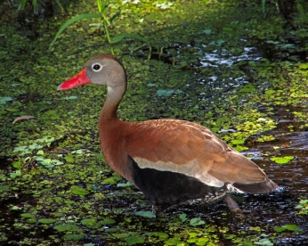 2018.06.10 La Chua Trail Black-bellied Whistling Duck 2