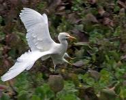 2017.12.28 La Chua Cattle Egret 5.art.cropped