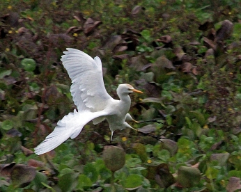 2017.12.28 La Chua Cattle Egret 5.art