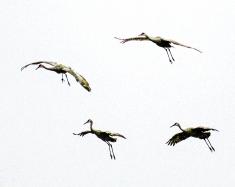 2018.01.13 Beef Teaching Unit Sandhill Cranes Art 2