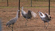 2018.01.13 Beef Teaching Unit Sandhill Cranes Art 5