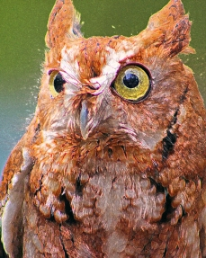 2018.03.10 Sunrise Wildlife Rehabilitation @Devil's Millhopper Eastern Screech Owl 'Ruby' 8.art