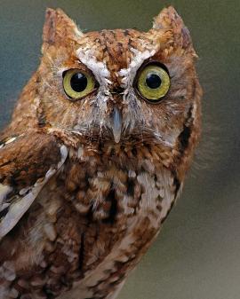 2018.03.10 Sunrise Wildlife Rehabilitation @Devil's Millhopper Eastern Screech Owl 'Ruby' 9.art