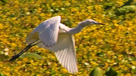 2018.03.24 Sweetwater Branch Wetlands Egret 1.art
