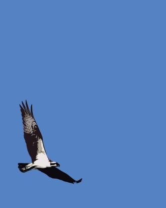 2018.03.24 Sweetwater Branch Wetlands Osprey 1.alt Art