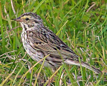 2018.03.24 Sweetwater Branch Wetlands Savannah Sparrow 2 art