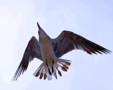2018.06.05 Anastasia State Park Laughing Gull 3.art