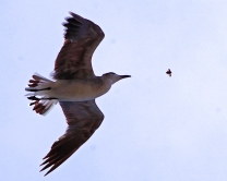 2018.06.05 Anastasia State Park Laughing Gull 4.art