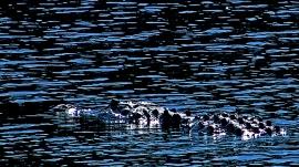 2018.06.10 La Chua Trail Alligator 2.art