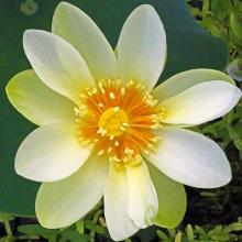 2018.06.20 Sweetwater Wetlands Lotus 4.art