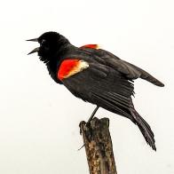 2018.07.01 Sweetwater Wetlands Red-winged Blackbird 3 Art tree