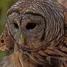 2018.12.08 Sunrise Wildlife Rehabilitation at Devil's Millhopper Barred Owl 1 art.cropped