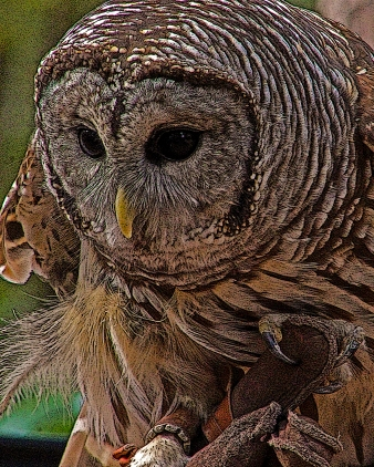 2018.12.08 Sunrise Wildlife Rehabilitation at Devil's Millhopper Barred Owl 1 art