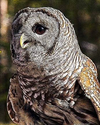 2018.12.08 Sunrise Wildlife Rehabilitation at Devil's Millhopper Barred Owl 11 art