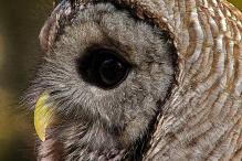 2018.12.08 Sunrise Wildlife Rehabilitation at Devil's Millhopper Barred Owl 12 art