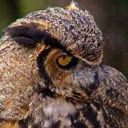 2018.12.08 Sunrise Wildlife Rehabilitation at Devil's Millhopper Great Horned Owl 1 art
